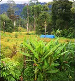 Belayan River Timber